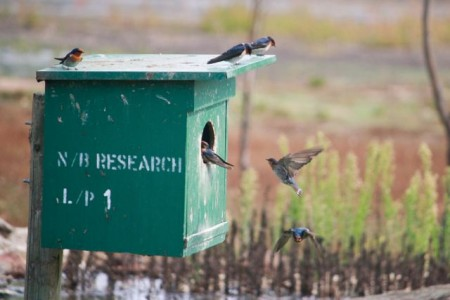 Welcome Swallows at Serendip Sanctuary (photo: Mitchell Drysdale )