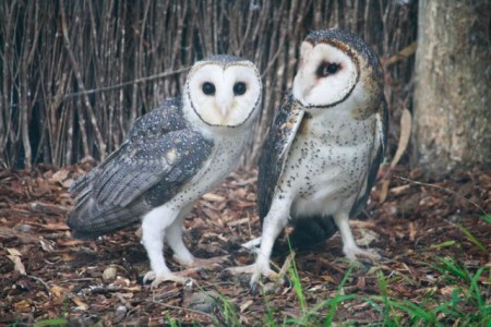 Masked Owls at Serendip Sanctuary (photo: Mitchell Drysdale)