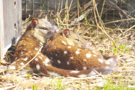 Endangered Spotted-tail Quolls sunning themselves at Serendip Sanctuary (photo: Mitchell Drysdale)